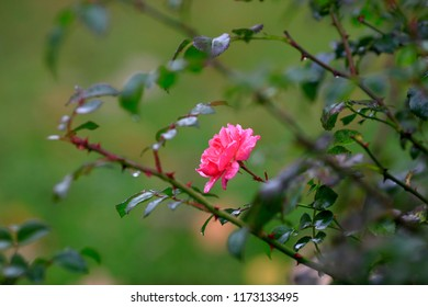 Wild rose in a green garden in rainy weather