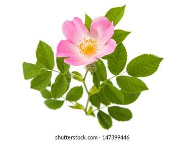 wild rose isolated on white background