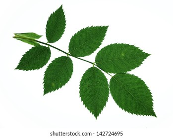 wild rose leaves isolated on white