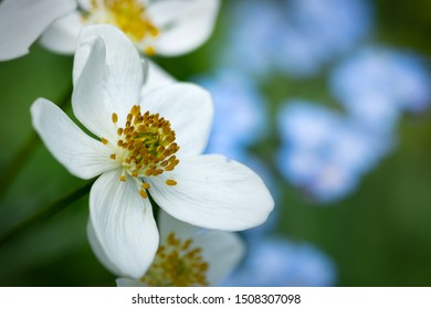 Wild rose or Multiflora Rose, a big white flower head with five delicate petals and yellow pollen