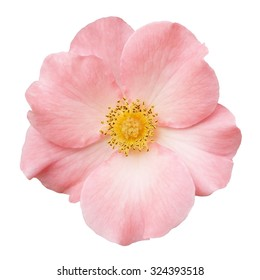 Wild rose pink flower isolated on white