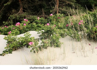 Wild rose at the sea - Shutterstock ID 2035362962