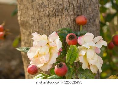 wild rose tea rose hips