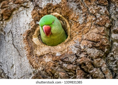Wild rose-ringed or ring-necked parakeet peeks its head out of its nest hole in the side of a tree trunk. Beautiful bird with bright red beak, and colorful red and green feathers looking at the camera