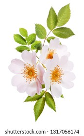 wild roses with leaves on the white background