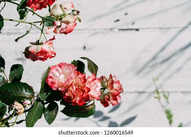 Wild roses on the wooden backround