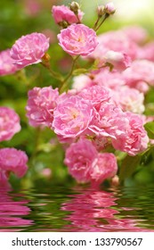 wild roses reflecting in water
