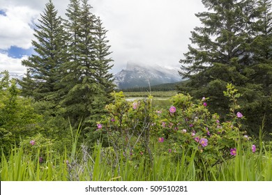 Wild Roses and the Rocky Mountains - Banff National Park, Alberta, Canada