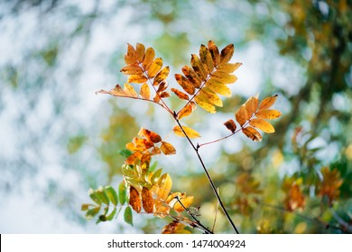 Wild rowan branch in autumn forest on sky bokeh background. Orange fall leaf in sunlight close-up. Autumn woodland backdrop with colorful rich flora in sunny light. Yellow rowan leaves in backlight.