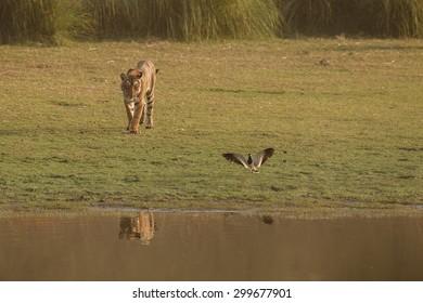 Wild royal bengal tiger in nature habitat of Ranthambhore National Park in India
