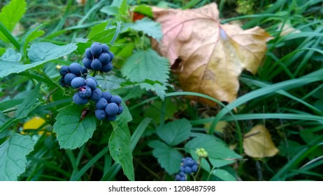 wild Rubus is a large and diverse genus of flowering plants in the rose family, Rosaceae, subfamily Rosoideae
