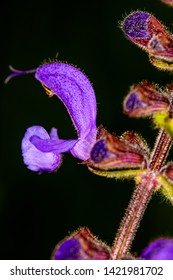 wild sage with flower in a macro