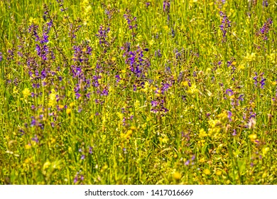 wild sage with flower in a spring meadow in Germany
