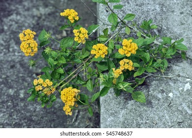 Wild sage,  Lantana camara, flower of the Verbenaceae family originating in tropical America - Sao Paulo, SP, Brazil - March 20, 2016