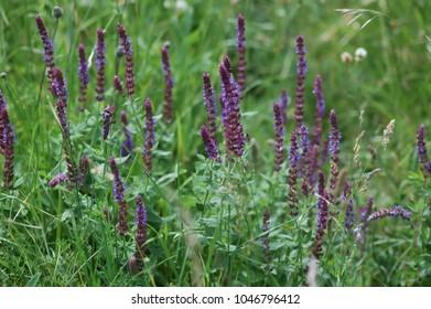 Wild Sage, Salvia, purple blossoms