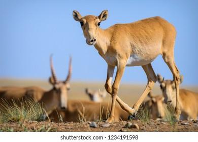Wild saiga antelope (saiga tatarica) in steppe of Kalmykia