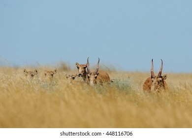 Wild Saiga antelopes (Saiga tatarica) in morning steppe. Federal nature reserve Mekletinskii, Kalmykia, Russia, August, 2015