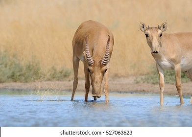 Wild Saiga antelopes (Saiga tatarica) near the watering place in the steppe. Federal nature reserve Mekletinskii, Kalmykia, Russia, August, 2015