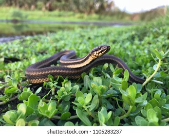 Wild salt marsh snake in habitat