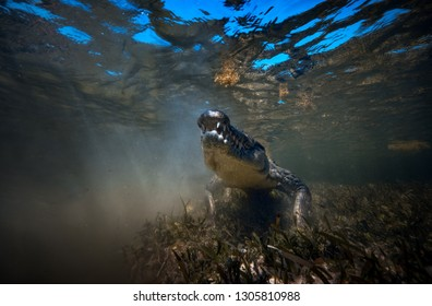 Wild Saltwater alligator crocodile closeup underwater shot in sea water