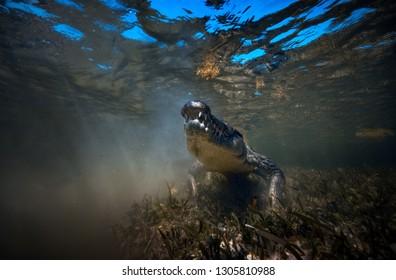 Wild Saltwater alligator crocodile closeup underwater shot in sea water