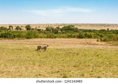 Wild savannah landscape with a Cheetah in Africa