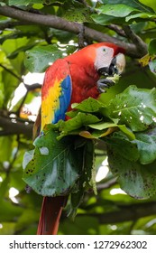 A wild scarlet macaw eating almonds from a tree in Carara National Park