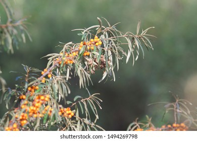Wild sea buckthorn in the forest against a green forest. Natural products. Healthy food concept.