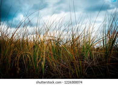 Wild sea grass with a cloudy sky out of focus in the background.