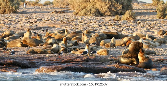Wild sea lions on a rocky outcrop at Bahia Bustamante Chubut Province Argentina.