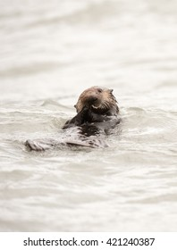 Wild sea otter floating in the ocean eating clams