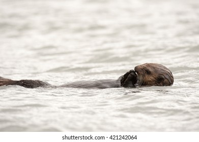 Wild sea otter floating in the ocean eating mussels
