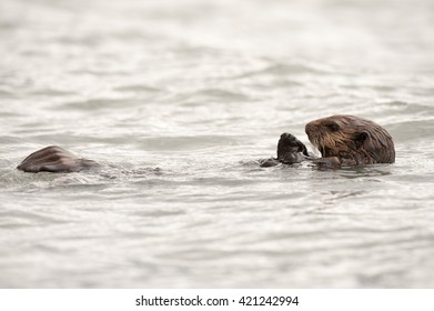 Wild sea otter floating in the ocean, eating clams
