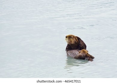 Wild sea otters lounging in the cold water of the Kenai Fjords in Alaska