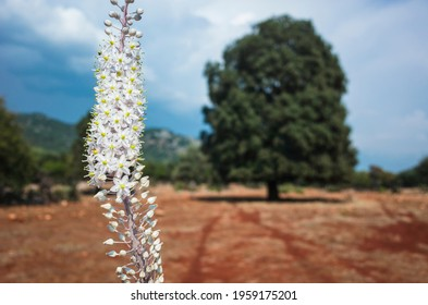 Wild sea squill flower blooms, short focus, blurred background with big tree. view from Lycian way hiking trail, Nature of Turkey