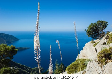 Wild sea squill flowers bloom on rocky cliff high above the sea, short focus, blurred background. View of Mediterranean coast from Lycian way hiking trail on mountain near Alinca, Nature of Turkey