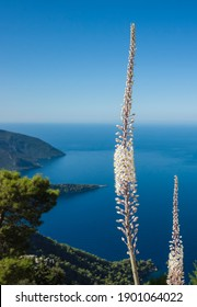 Wild sea squill flowers bloom high above the sea, short focus, blurred background. View of Mediterranean coast from Lycian way on mountain near Alinca, Nature of Turkey