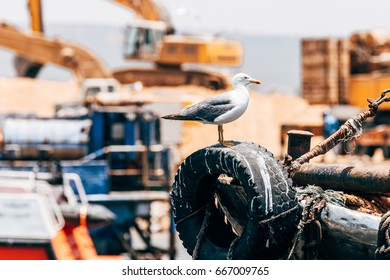 wild seagul at essaouira port, morocco