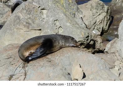 Wild seal can seen sun bathing in Kaikoura,New Zealand
