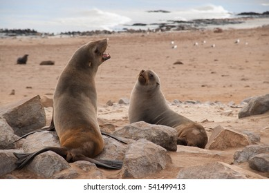 Wild Seals at Cape Cross Seal Reserve, Namibia