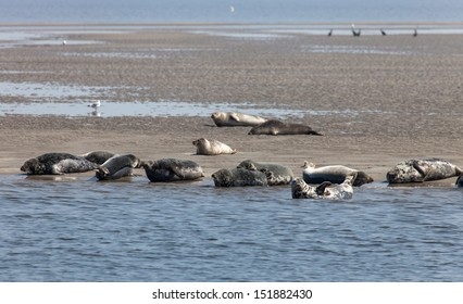 Wild seals on the sandbank close to Texel island, Netherlands
