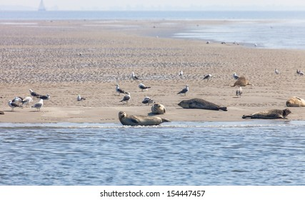 Wild seals and seagulls on the sandbank close to Texel island, Netherlands