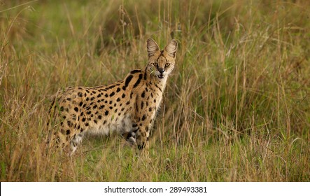 A wild Serval standing in the grass