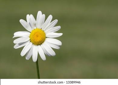 Wild Shasta Daisy (Leucanthemum x superbum) in spring