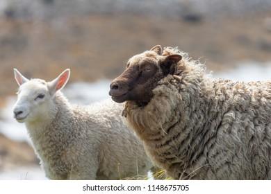Wild Sheep in the Shetland Islands, UK