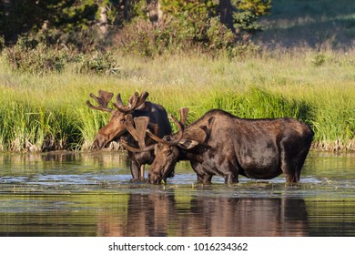Wild Shiras Moose in the Rocky Mountains of Colorado