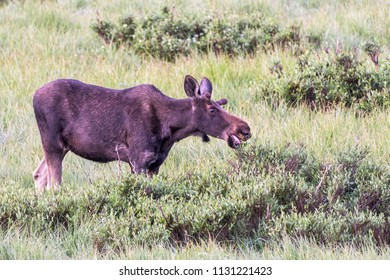 Wild Shiras Moose in the Rocky Mountains of Colorado. Munching Moose at Sunrise