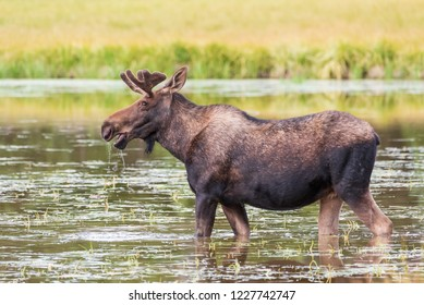 Wild Shiras Moose in the Rocky Mountains of Colorado. Bull Moose Feeding on Lake Grass