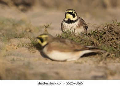 Wild Shore Lark (Eremophila alpestris) on a coastal sandy beach. Image taken on the UK Coast. Also known as a Horned Lark