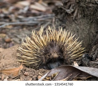 Wild short-beaked echidna with dirty muzzle. Tachyglossus aculeatus walking in the eucalyptus forest. Australia.